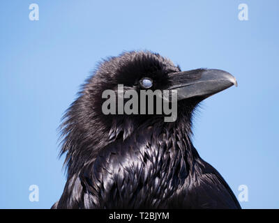 Common raven (Corvus corax), showing closed nictitating membrane. Paired with image T2BJYM 1T2BJYM which shows open membrane. - Stock Image