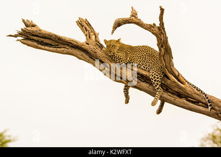 Solitary African Leopard, Panthera pardus, resting on a tree branch with legs dangling, in the Buffalo Springs National Reserve, Kenya, East Africa - Stock Image