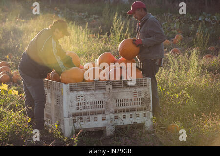 Farmers working in pumpkin field - Stock Image