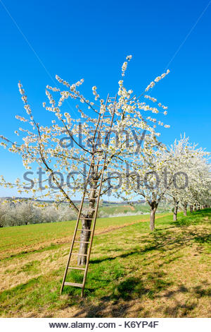 Germany, Baden-Württemberg, Schliengen. A ladder in a blossoming cherry tree in the Eggenertal Valley in early spring. - Stock Image