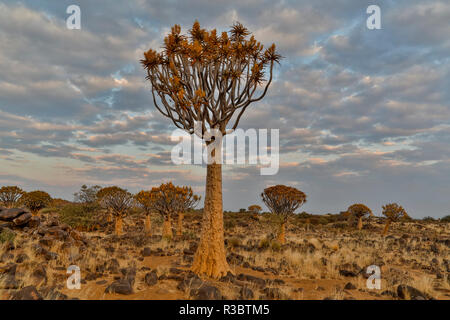 Quiver trees landscape, Namibia - Stock Image