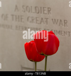 Two blood-red tulips stand before a white gravestone to an unknown soldier in  Sanctuary Wood Cemetery - a WWI burial site near Ypres, Belgium. - Stock Image
