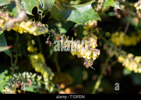 A cluster of yellow Mahonia flowers with a honey bee Apis mellifera seen side on feeding from the flowers in early spring - Stock Image
