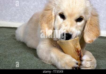golden retriever puppy chewing on marrowbone - Stock Image