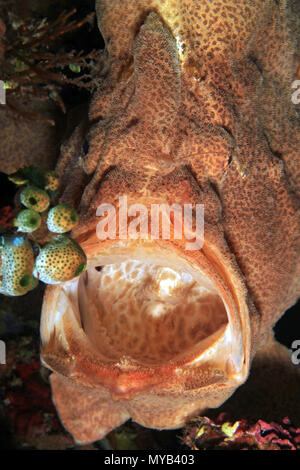 Giant Frogfish (Antennarius commerson) from Front, with Mouth Wide Open. Anilao, Philippines - Stock Image