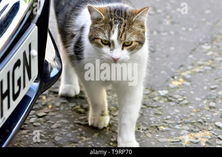 Larry the 10 Downing Street Cat in Downing Street, Westminster, May 2019 - Stock Image