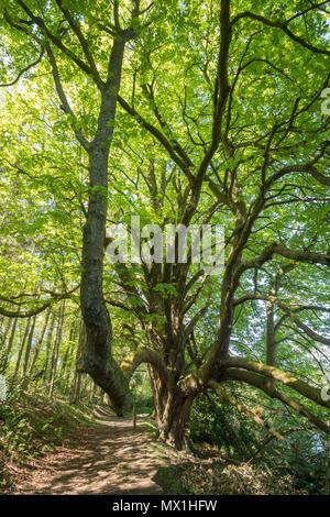 Old tree, the Haining estate, Selkirk, Scotland, UK - Stock Image