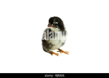 Cute little black and yellow French Copper Maran chicken / chick isolated over a white background. - Stock Image
