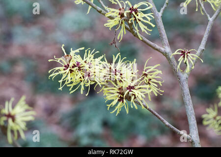 Hamamelis x intermedia 'Sunburst' flowers. - Stock Image