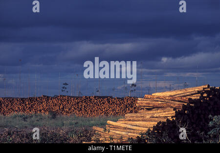 Eucalypts wood, highly valued by the charcoal, pulp and paper industries, Espirito Santo State, southeastern Brazil. - Stock Image