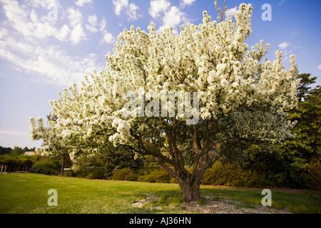 Large flowering tree in Spring at the Norfolk Botanical Gardens, Norfolk, Virginia, United States of America - Stock Image