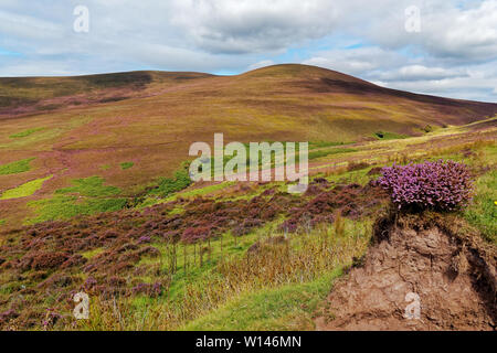 View of the hills of Knockmealdown Mountains covered with the carpet of heather.County Waterford,Ireland. - Stock Image