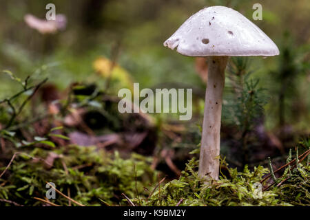 Amanita virosa shot from parallel level in landscape - Stock Image