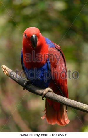 red blue parrot bird on branch with bokeh background - Stock Image