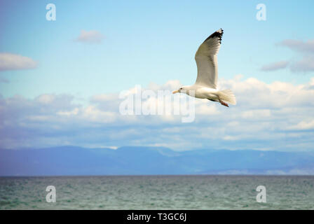 White seagull flying above the water surface with the sea in the background - Stock Image