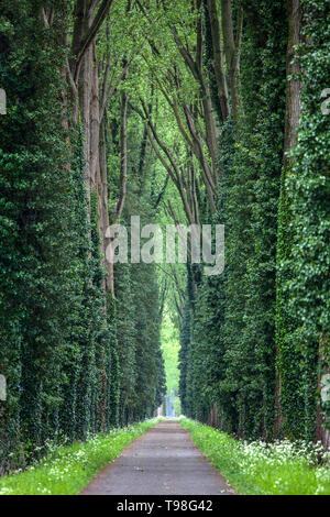 Narrow forest road with tall green deciduous trees with thick trunks around. - Stock Image