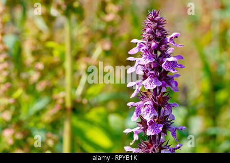 Marsh Woundwort (stachys palustris), close up of a flowering plant growing amongst dock and nettles. - Stock Image