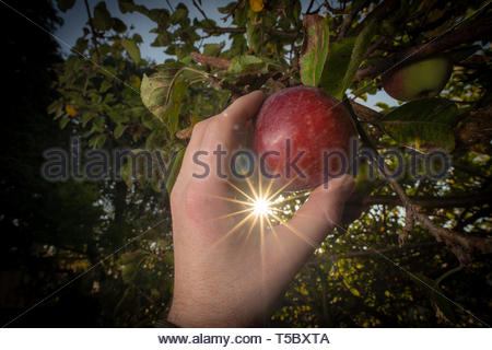 Picking an apple from a tree with the sun shining through the leaves - Stock Image