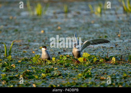 White cheeked Tern family nest on water in Danube Delta, Romania - Stock Image