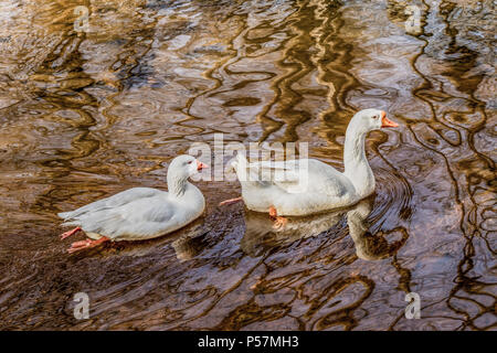 A pair of Domestic Swan Geese swimming in  reflected brown moire-patterned water. - Stock Image