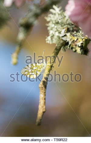orange tip butterfly - anthocharis cardamines - beautifully camouflaged on the branch of a lichen covered tree - Scotland, UK - Stock Image