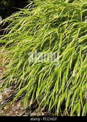 Arching, mounding foliage of the white striped Japanese forest grass, Hakonechloa macra 'Albostriata' - Stock Image