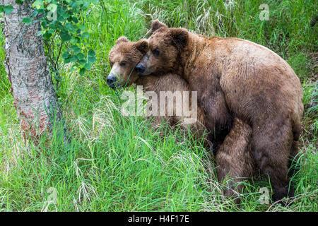 Brown Bear adults mating, Katmai National Park, Alaska - Stock Image