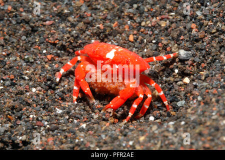 Red Round Crab, also known as Red Stone Crab, Neoliomera insularis. Female with Eggs. Tulamben, Bali, Indonesia. Bali Sea, Indian Ocean - Stock Image