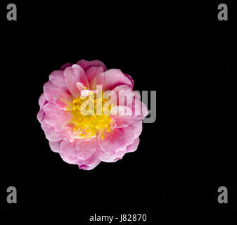 Multi-petalled pink rose bloom with a yellow and orange centre - Stock Image