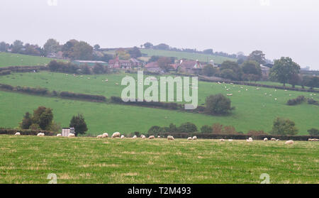 An idyllic scene of sheep grazing in a grassy field on a grey hazy day in rural Shropshire, England. - Stock Image
