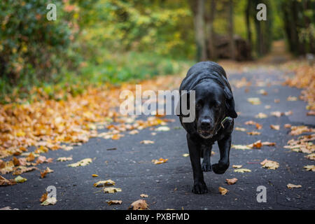 Black dog Labrador Retriever walking in the forest during autumn, dog has green collar, orange leaves are around on the path - Stock Image
