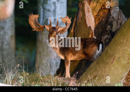 Fallow Deer (Dama dama), Buck standing between Trees in Evening Light, Royal Deer Park, Klampenborg, Sjaelland, - Stock Image