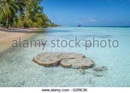 Coral head in the shallow waters of Fakarava lagoon (French Polynesia) - Stock Image