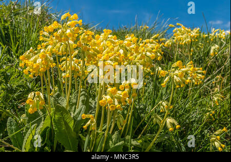 A group of wild cowslip Primula Veris plants in full flower with a blue sky background - Stock Image