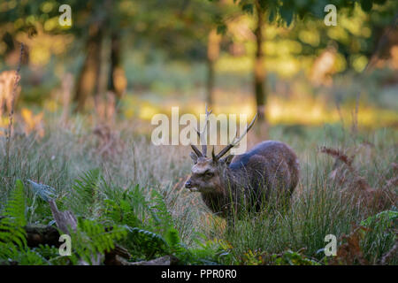 Sika deer,  Cervus nippon, feeding  on wooded parkland in Kent on an autumn morning - Stock Image