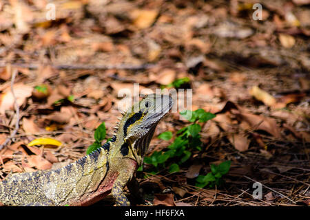 Australian Male Water Dragon surprised out of the water basking in the sun light, - Stock Image