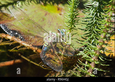 BT9TF0 female emperor dragonfly Anax imperator shown laying eggs in a pond south east england - Stock Image