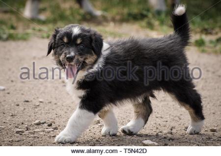 Australian Shepherd puppy - Stock Image