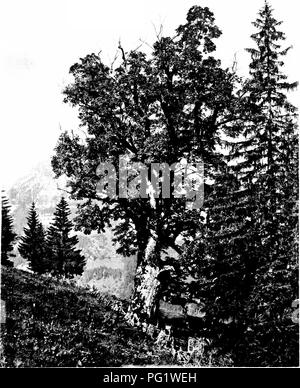. The trees of Great Britain & Ireland. Trees; Trees. SYCAMORE IX SWITZERLAND Flate 1S3.. Please note that these images are extracted from scanned page images that may have been digitally enhanced for readability - coloration and appearance of these illustrations may not perfectly resemble the original work.. Elwes, Henry John, 1846-1922; Henry, Augustine, 1857-1930. Edinburgh, Priv. Print. - Stock Image