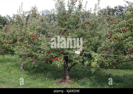 Unripe apples at orchard, Claverack, NY, USA - Stock Image