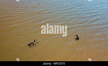 drone image of ducks in a lake in Arkansas, USA - Stock Image