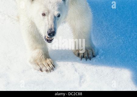 Young adult Polar Bear, Ursus maritimus, Bjornsundet, Svalbard Archipelago, Norway - Stock Image
