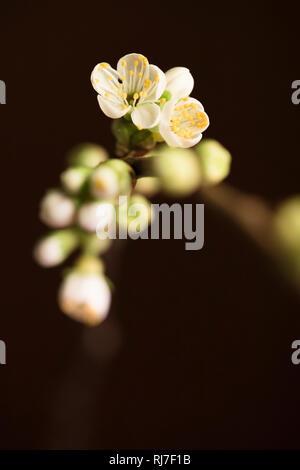 Kirschblüten an Zweig - Stock Image