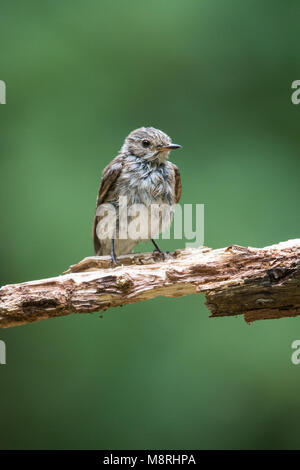 Spotted Fly Catcher (Muscicapa striata) perched on branch - Stock Image