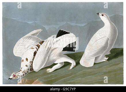 1 Rock Ptarmigan, Lagopus mutus, 2 White-tailed Ptarmigan, Lagopus leucurus, birds, 1827 - 1838 - Stock Image