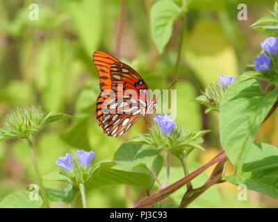 A gulf fritillary butterfly on small flower morningglory. - Stock Image