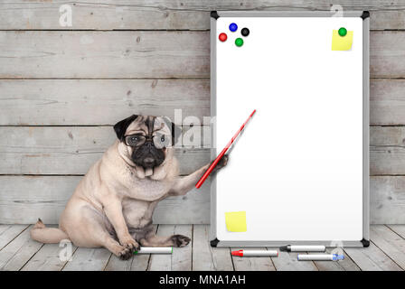 serious pug puppy dog sitting down, pointing at blank white board with yellow notes and magnets, on wooden floor and background - Stock Image