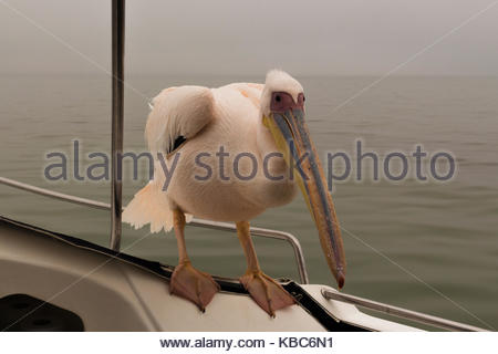Namibian Pelican lands on a boat - Stock Image