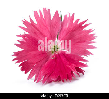 Pink Dianthus flower head isolated on white background - Stock Image