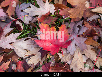 Red and orange maple leaf - Stock Image